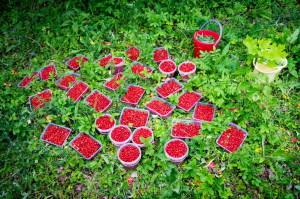 Доступные ягоды по акции «Даёшь урожай!»