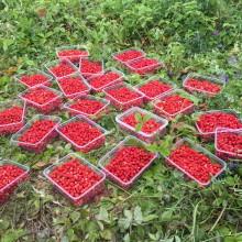 Ягодка к ягодке… благотворительный сбор ягод земляники