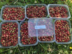 Сезон благотворительного сбора ягод открыт!
